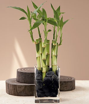 House Plants - 7 Stalks of Lucky Bamboo