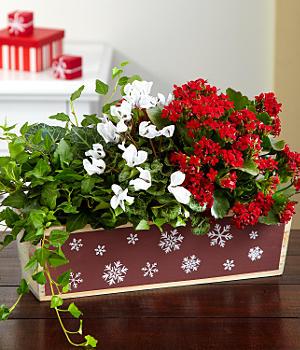 House Plants - Snowflake Garden