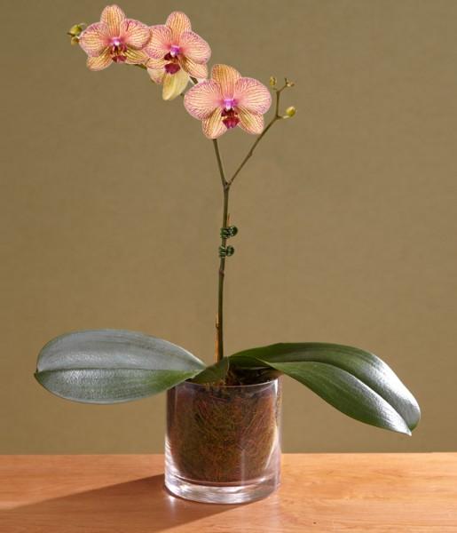 House Plants - ProFlowers - Single Stem Kaleidoscope Orchid