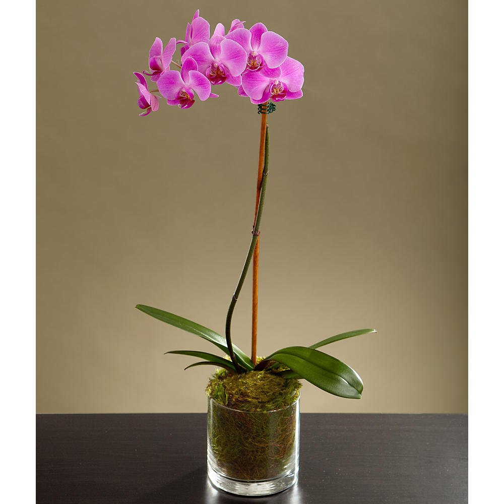 ProFlowers - Potted Purple Orchid
