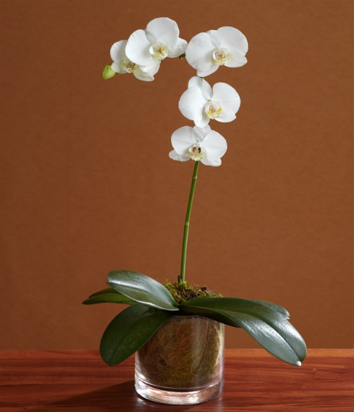 House Plants - ProFlowers - Single Stem White Orchid