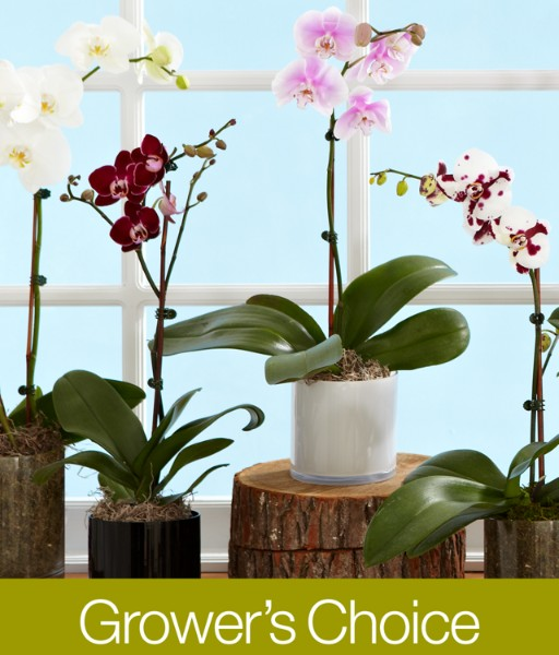 House Plants - Orchid Grower's Choice