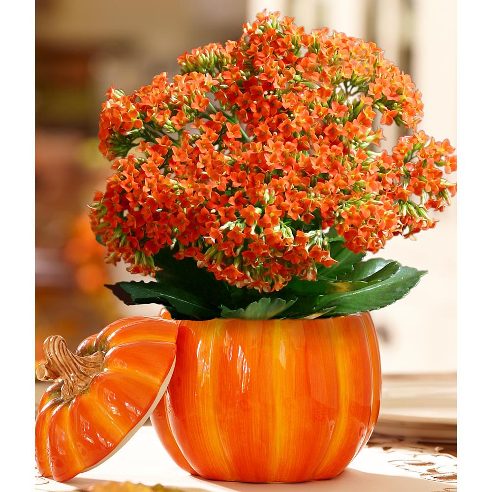 House Plants - Thanksgiving Pumpkin
