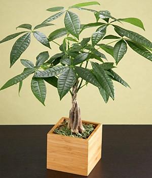ProFlowers - Good Fortune Money Tree