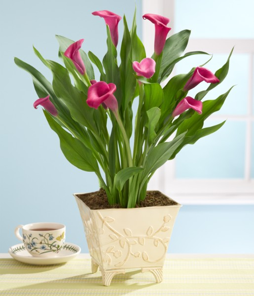 ProFlowers - Plants: Potted Pink Calla Lily Plant