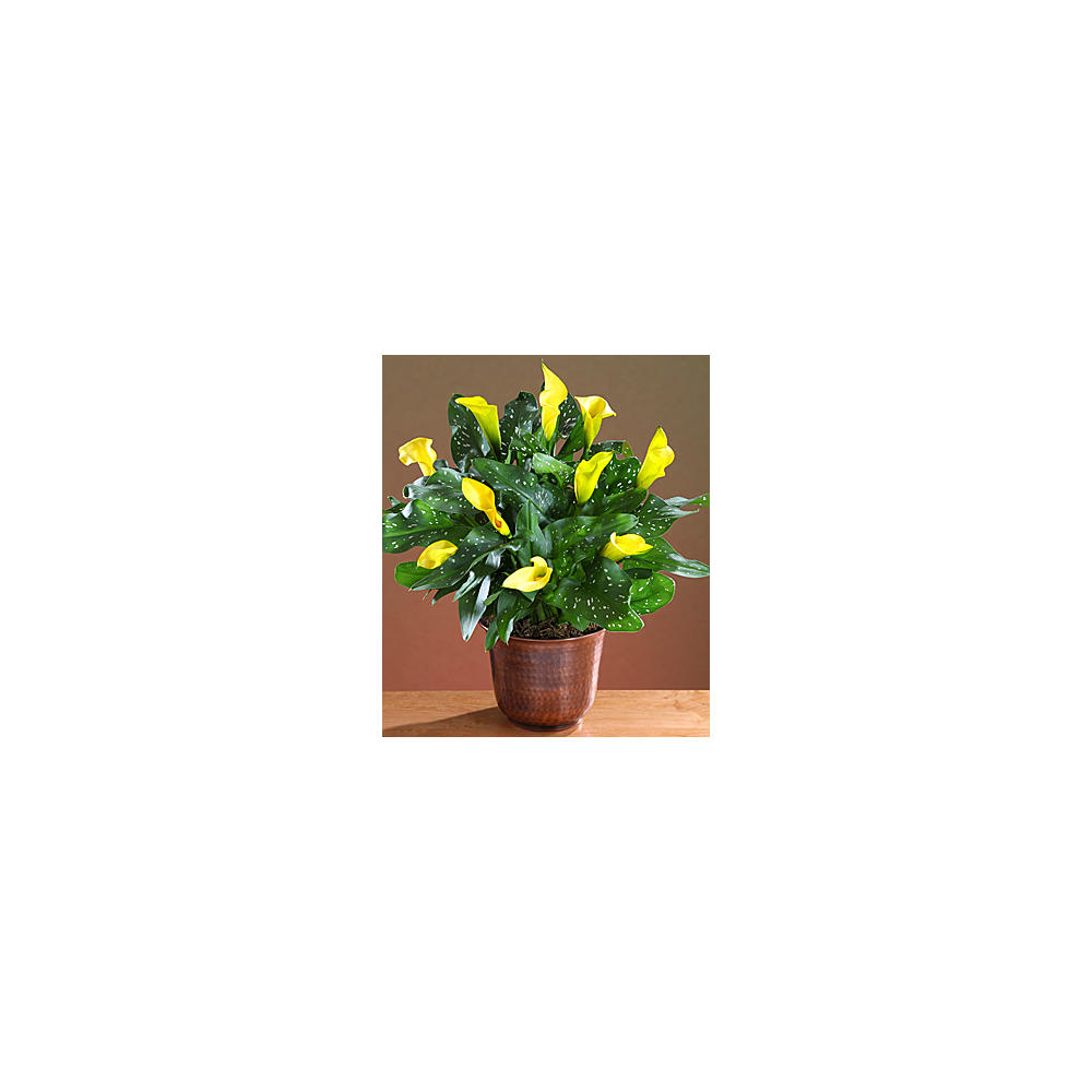 House Plants - ProFlowers - Potted Yellow Calla Lily
