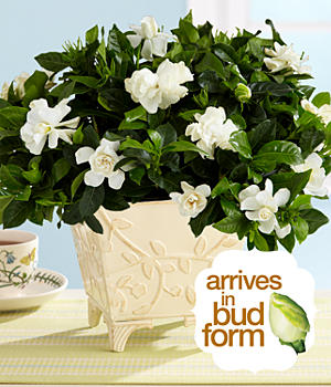House Plants - Potted Fragrant Gardenia