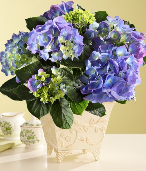 ProFlowers - Potted Blue Hydrangea