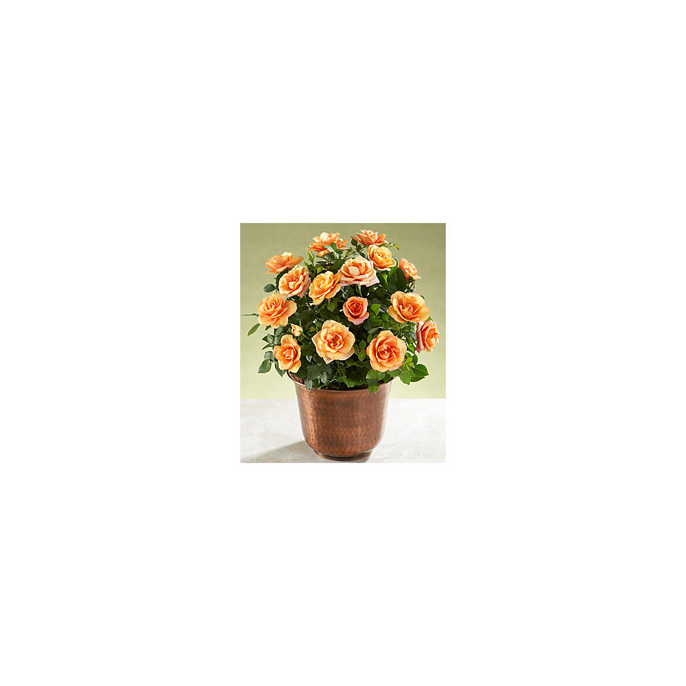 House Plants - ProFlowers - Potted Autumn Roses