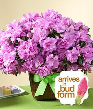 House Plants - ProFlowers - Potted Lavender Azalea