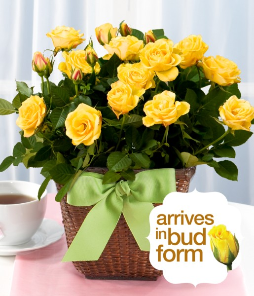 House Plants - ProFlowers - Potted Yellow Rose