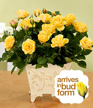 House Plants - ProFlowers - Brighter Days Potted Roses
