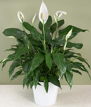 House Plants - peace lily