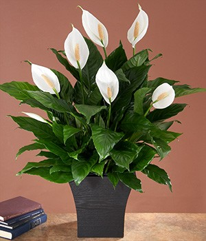 House Plants - The Ultimate Office Plant