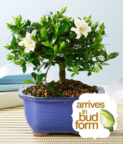 ProFlowers - Gardenia Bonsai