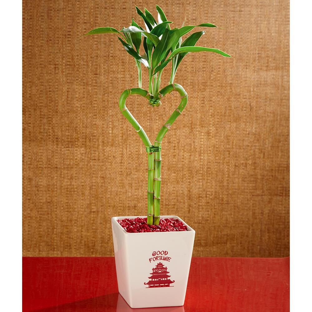 House Plants - Heart Bamboo