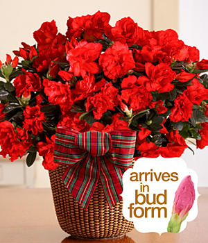 House Plants - Potted Red Christmas Azalea
