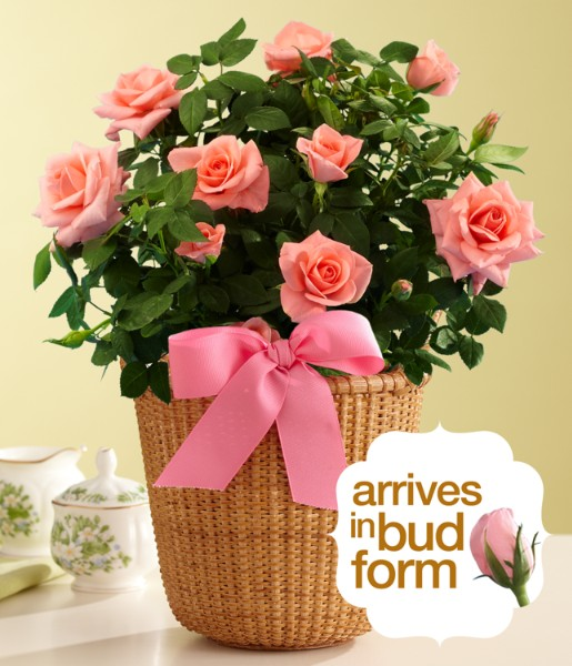 House Plants - ProFlowers - Potted Pink Rose