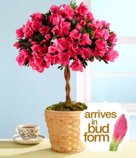 House Plants - Potted Azalea Topiary