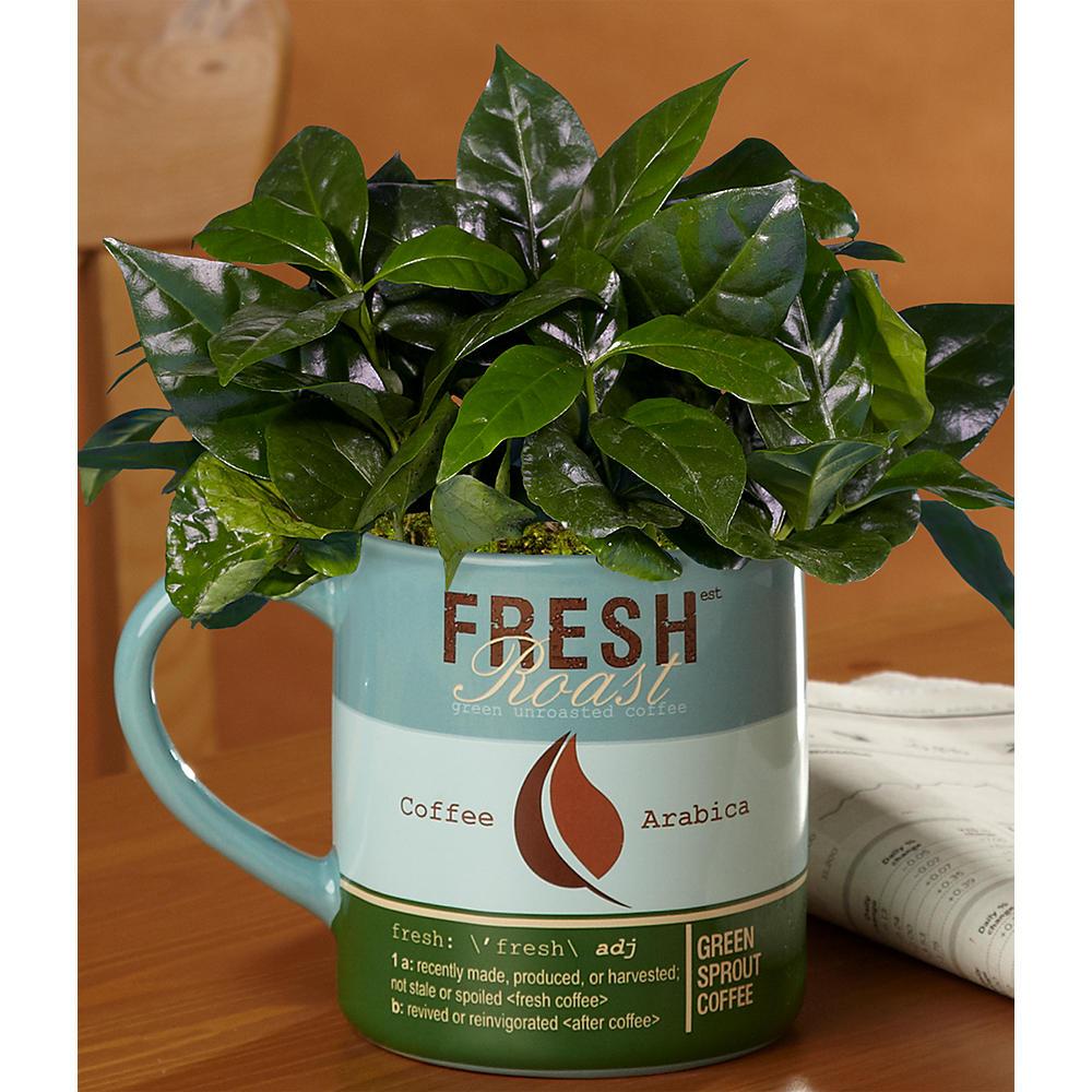 House Plants - Birthday Buzz Coffee Plant