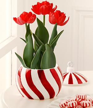 Peppermint Twist Tulips
