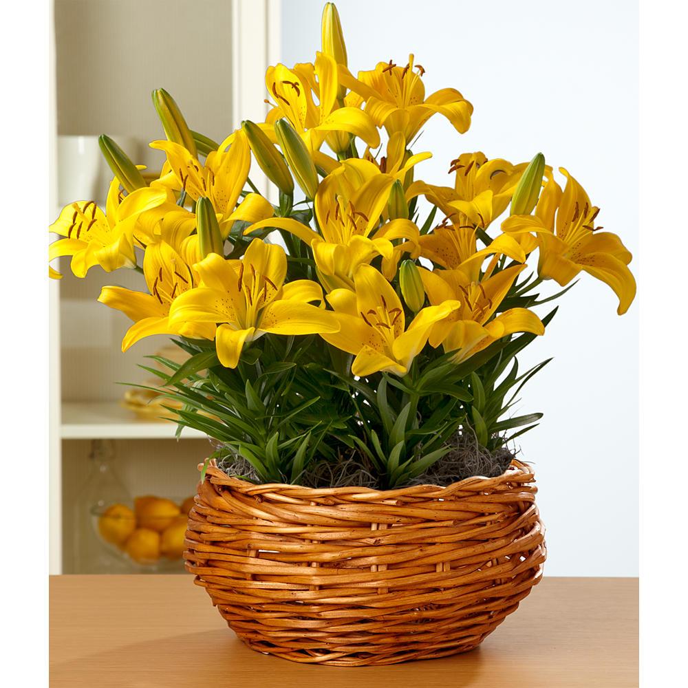 House Plants - Yellow Pixie Lily Bulb Garden