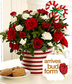 Potted Candy Cane Roses