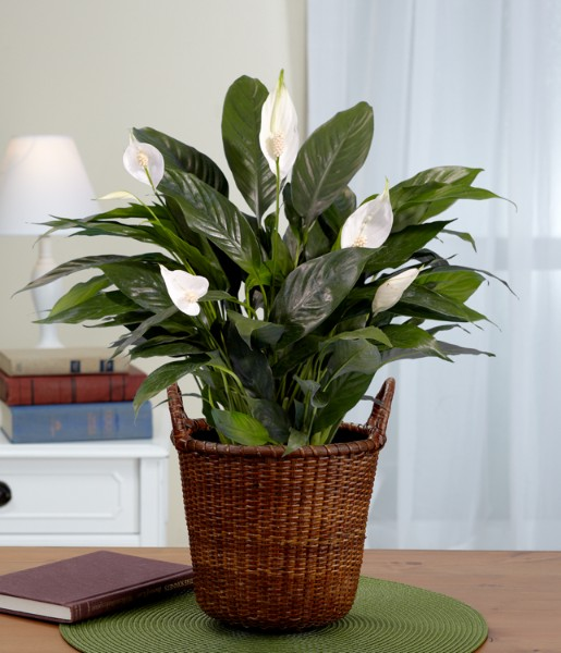 House Plants - Lush Tropical Evergreen