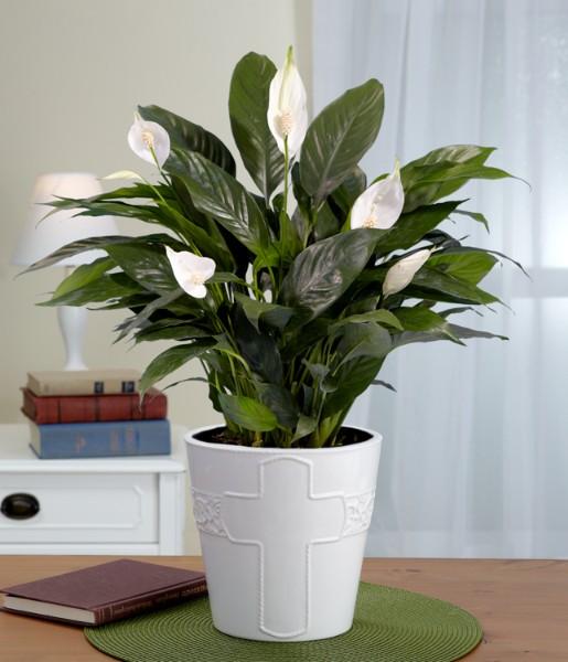House Plants - Sympathy Peace Lily