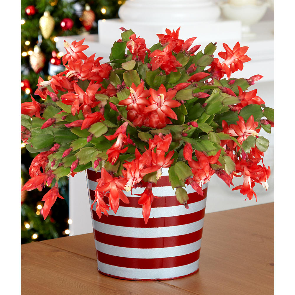 House Plants - Potted Red Christmas Cactus