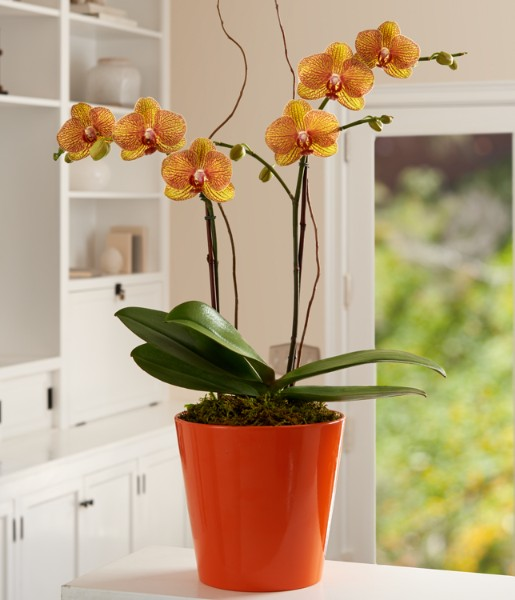 House Plants - Potted Double Stem Kaleidoscope Orchid