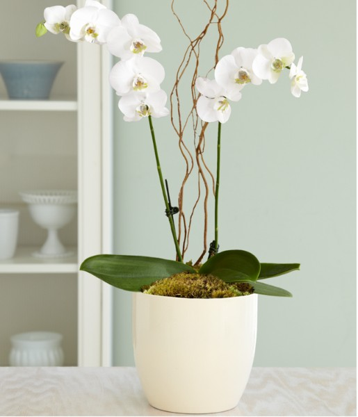 Order exotic flowers plants send exotic flowers - How to care for potted orchids ...
