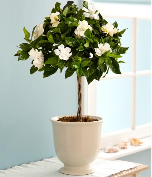 House Plants - Fragrant Gardenia Topiary