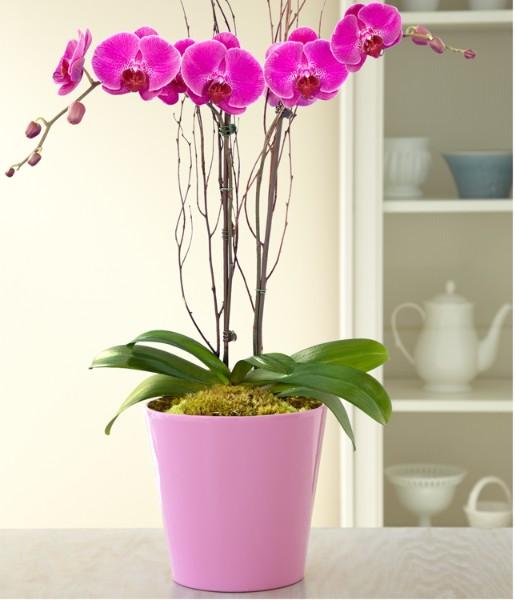 House Plants - Potted Double Stem Purple Orchid
